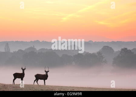 Red deer stags at sunrise. Richmond Park, London UK - Stock Photo