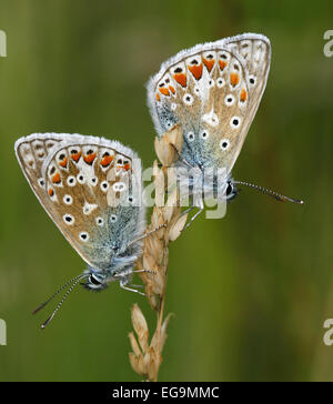 Two common blue butterflies (polyommatus icarus) taken on a nature reserve in Northumberland, UK. - Stock Photo