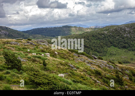 A flock of sheep grazing on the hill in Norway. - Stock Photo