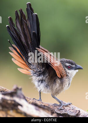 White-browed coucal (Centropus superciliosus), Queen Elizabeth National Park, Uganda - Stock Photo