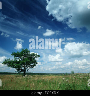 Medium format film scan of green maple tree in the summer meadow under vivid blue skies and fluffy clouds. - Stock Photo