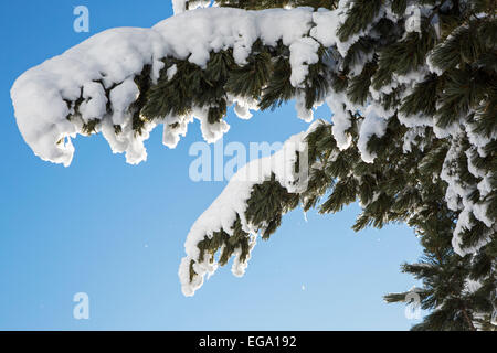 Close up of spruce tree branches laden with snow against clear blue sky - Stock Photo