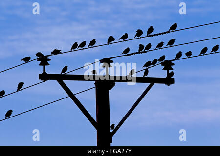Common starlings / European starling (Sturnus vulgaris) flock congregating on wires of telephone line - Stock Photo