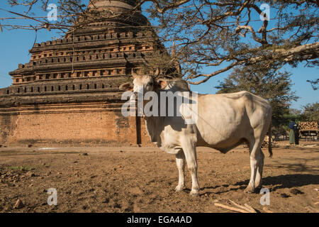 cow,ox,bullock in field with ancient Buddhist temple on plains of Pagan,Bagan,Burma,Myanmar. - Stock Photo