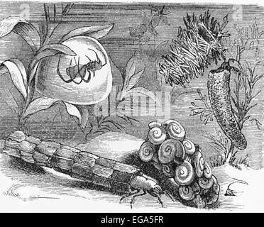 Vintage 19th century drawing representing various underwater insects - Stock Photo