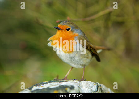 Robin redbreast perched on a stone, looking out for rivals. feathers ruffled by the wind. Recently voted Britain's - Stock Photo