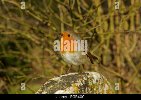 Robin redbreast perched on a stone, looking out for rivals. The Robin has recently voted Britain's National Bird - Stock Photo