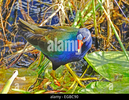 Purple Gallinule (Porphyrio Martinicus) in Everglades National Park - Stock Photo