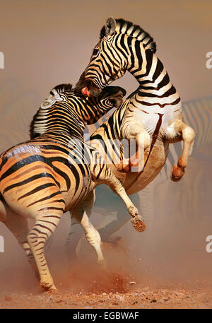 Stallions (Equus burchell's) fighting and standing on hind legs -  Etosha (Namibia) - Stock Photo