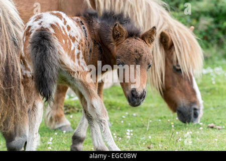 New Forest Ponies and Foal in National Park - Stock Photo