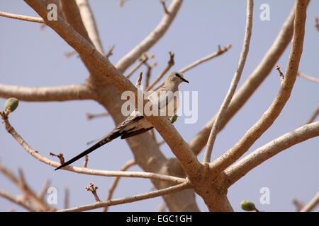 Namaqua dove female perched in tree in Senegal - Stock Photo