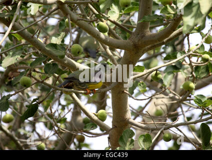 Bruces green pigeon feeding in fruit tree in The Gambia - Stock Photo