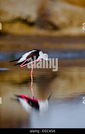 A black-winged stilt sprucing oneself up - Stock Photo
