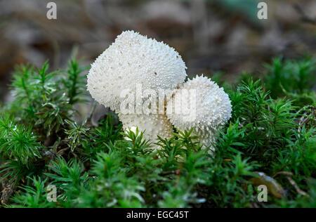 Common puffball (Lycoperdon perlatum) covered in pale, short cone-shaped spines, saprobic fungi, edible, Switzerland - Stock Photo