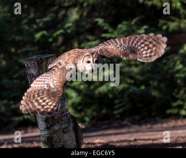 Tawny owl or brown owl (Strix aluco) flying in woodland - Stock Photo