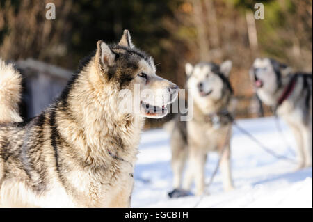 Pure bread alaskan malamute sleddogs at stakeout waiting for the competition start. - Stock Photo