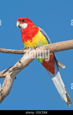 The Eastern Rosella, 'Platycercus eximius' perched on a tree branch - Stock Photo