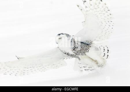 Snowy Owl Close up Flight - Stock Photo