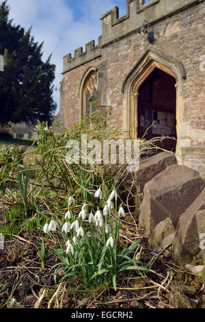 Snowdrops in Churchyard - Galanthus nivalis St George Priory Church, Dunster, Somerset - Stock Photo