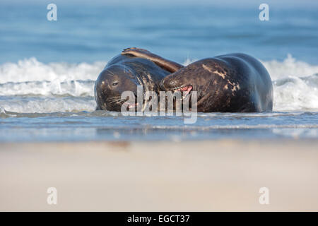 Grey Seals (Halichoerus grypus) young males playing on the beach, Wadden Sea, UNESCO World Heritage Site, North - Stock Photo