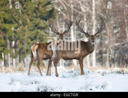 Red Deer (Cervus elaphus), stags in the snow, captive, Saxony, Germany - Stock Photo