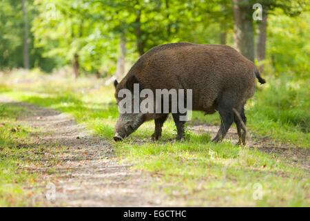 Wild Boar (Sus scrofa), boar in summer coat, fattened in summer, crossing a forest path, captive, Bavaria, Germany - Stock Photo