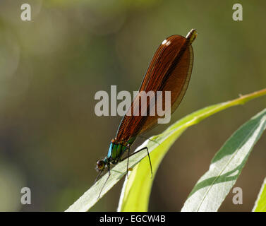 Beautiful Demoiselle (Calopteryx virgo), female, Antalya Province, Mediterranean Region, Turkey - Stock Photo