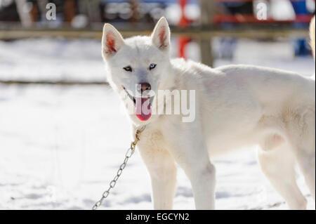 White siberian husky in steakout before sleddog racing in Romania - Stock Photo