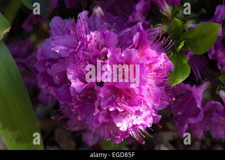 Rhododendron ponticum, an invasive wild rhododendron - Stock Photo