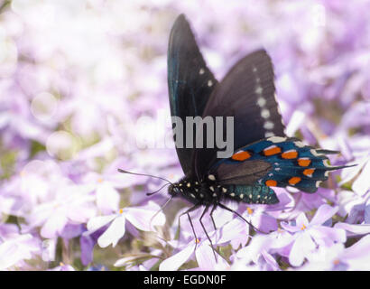Dreamy image of a Pipevine Swallowtail butterfly feeding on purple flowers - Stock Photo