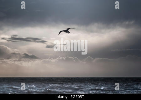 Brighton, East Sussex, UK. 23rd February, 2015. Lone Gull soars on the strong Westerley Wind over the South Coast. - Stock Photo