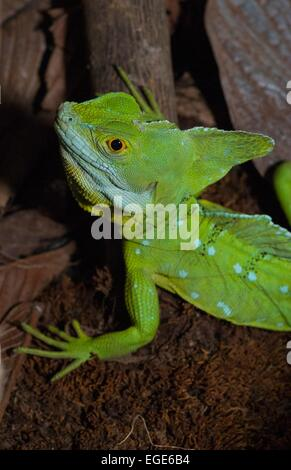 Costa Rica. La Fortuna, National park Volcan Arenal, plumed basilisk (basiliscus plumifrons) also called Jesus Christ - Stock Photo