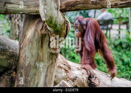 Young orangutan in a zoo walking on a trunk Stock Photo