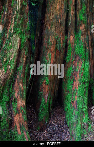 Abstract image of a decomposing Cedar stump in a temperate rain forest. - Stock Photo