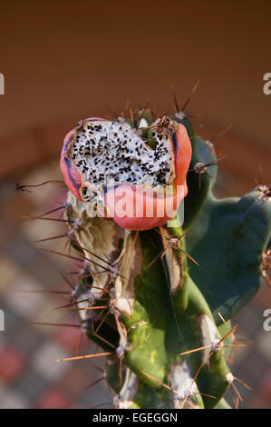 Cactus seed pod open to show seeds - Stock Photo