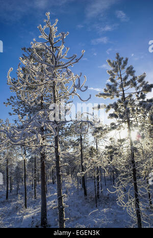 Cold winter sun shining through snow covered branches of trees - Stock Photo