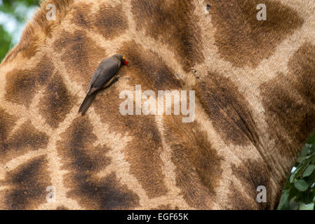 Red-billed oxpecker (Buphagus erythrorhynchus) searching for parasites on the neck of a giraffe, Kruger National - Stock Photo