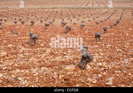 Endless Winter vineyard in Spain pruned vines growing on the stony meager soil, La Mancha, Spain. - Stock Photo