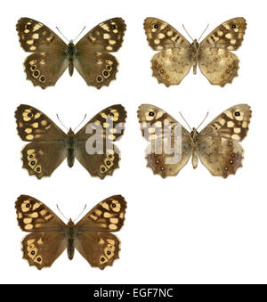 Speckled Wood - Pararge aegeria - male (top row) - female (middle row) - ssp. insula from Scilly (bottom row). - Stock Photo