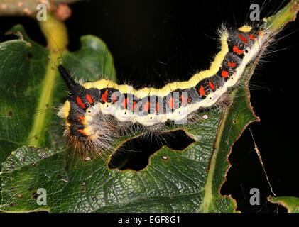 Colourful caterpillar of the European Grey Dagger moth (Acronicta psi) feeding on a leaf - Stock Photo