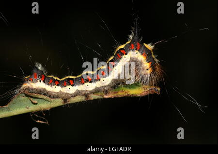 Colourful caterpillar of the European Grey Dagger moth (Acronicta psi) against a black background - Stock Photo