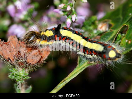 Colourful caterpillar of the European Grey Dagger moth (Acronicta psi), seen here on common heather flowers - Stock Photo