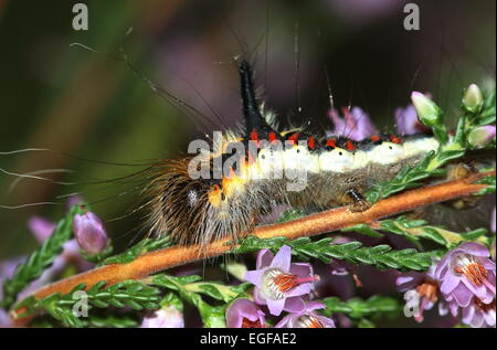 Colourful caterpillar of the European Grey Dagger moth (Acronicta psi), seen here on common heather - Stock Photo