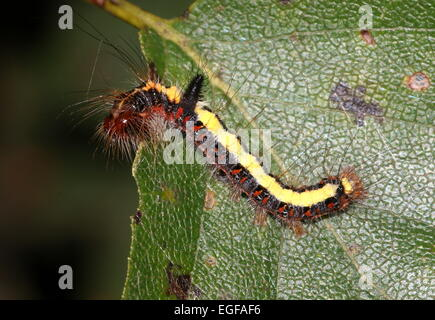 Colourful caterpillar of the European Grey Dagger moth (Acronicta psi) - Stock Photo