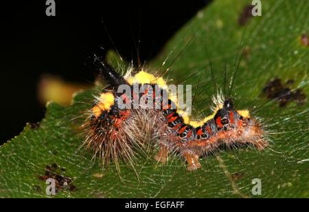 Colourful caterpillar of the European Grey Dagger moth (Acronicta psi) - Stock Photo