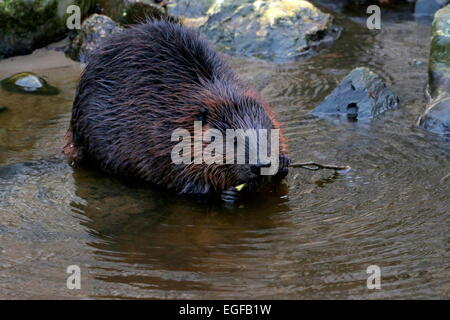 Closeup of a  North American beaver (Castor canadensis) at the water's edge, chewing on a twig - Stock Photo