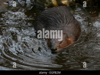Closeup of a  North American beaver (Castor canadensis) at the water's edge, - Stock Photo
