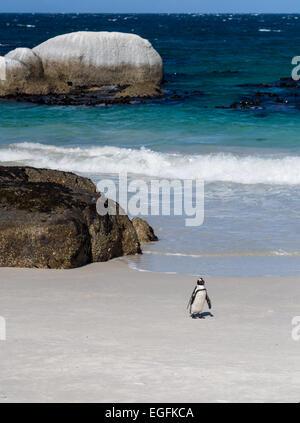African Penguin, Spheniscus demersus, Boulders Beach, Simon's Town, South Africa - Stock Photo
