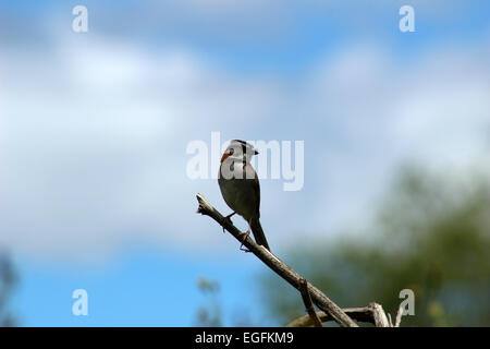 A Rufous Collared Sparrow perched on the branch of a tree in Cotacachi, Ecuador - Stock Photo