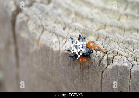 Jewel spider Austracantha minex, AKA Gasteracantha, Australia - Stock Photo